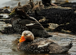 steamer-duck-falkland-islands-4939-copyright-photographers-on-safari-com