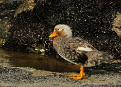 steamer-duck-falkland-islands-4940-copyright-photographers-on-safari-com