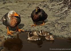 steamer-duck-falkland-islands-4941-copyright-photographers-on-safari-com