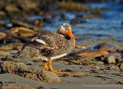 steamer-duck-falkland-islands-4942-copyright-photographers-on-safari-com