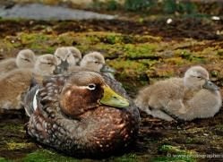 steamer-duck-falkland-islands-5009-copyright-photographers-on-safari-com