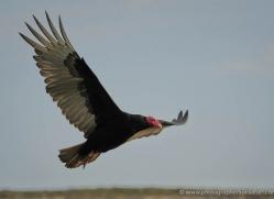 turkey-vulture-falkland-islands-4974-copyright-photographers-on-safari-com