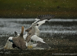 upland-goose-falkland-islands-5004-copyright-photographers-on-safari-com