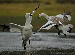 upland-goose-falkland-islands-5005-copyright-photographers-on-safari-com