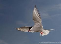 arctic-tern-605-copyright-photographers-on-safari-com