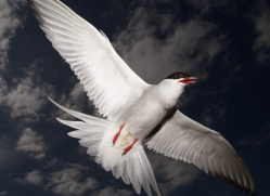 arctic-tern-608-copyright-photographers-on-safari-com