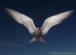 arctic-tern-603-copyright-photographers-on-safari-com