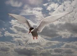 arctic-tern-607-copyright-photographers-on-safari-com