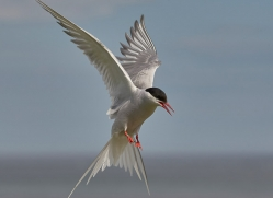 arctic-tern-copyright-photographers-on-safari-com-8393