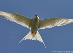 arctic-tern-copyright-photographers-on-safari-com-8394