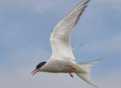 arctic-tern-copyright-photographers-on-safari-com-8402