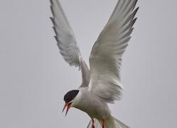 arctic-tern-copyright-photographers-on-safari-com-8403