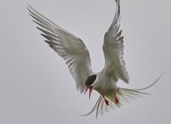 arctic-tern-copyright-photographers-on-safari-com-8404