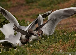 black-headed-gulls-attacking-puffins-616-copyright-photographers-on-safari-com