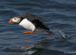 puffins-on-islands-629-copyright-photographers-on-safari-com
