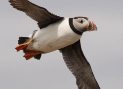 puffins-on-islands-644-copyright-photographers-on-safari-com