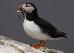 puffins-on-islands-666-copyright-photographers-on-safari-com