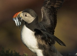 puffins-on-islands-677-copyright-photographers-on-safari-com