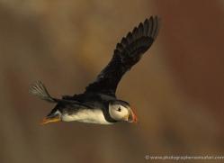 puffins-on-islands-684-copyright-photographers-on-safari-com