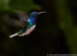 Hummingbird 2015-18copyright-photographers-on-safari-com