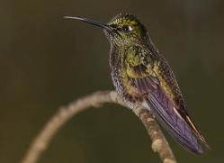 hummingbird-ecuador-1947-copyright-photographers-on-safari-com