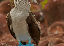 Blue Footed Booby 2015 -1copyright-photographers-on-safari-com