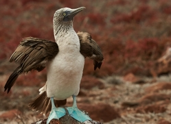 Blue Footed Booby 2015 -2copyright-photographers-on-safari-com