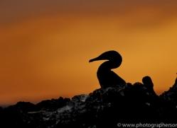 Flightless Cormorant 2015 -4copyright-photographers-on-safari-com