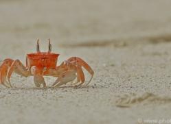 Ghost Crab 2015 -1copyright-photographers-on-safari-com