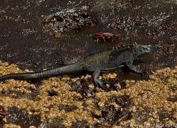 Iguana 2015 -10copyright-photographers-on-safari-com
