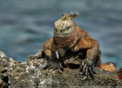 Iguana 2015 -12copyright-photographers-on-safari-com