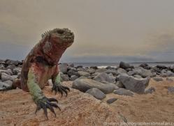Iguana 2015 -15copyright-photographers-on-safari-com