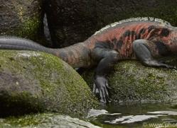 Iguana 2015 -16copyright-photographers-on-safari-com