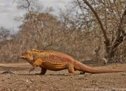 Iguana 2015 -17copyright-photographers-on-safari-com