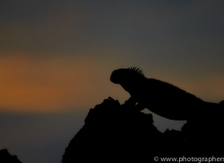Iguana 2015 -1copyright-photographers-on-safari-com