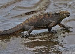 Iguana 2015 -7copyright-photographers-on-safari-com