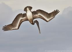 Pelican 2015 -2copyright-photographers-on-safari-com