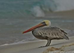 Pelican 2015 -3copyright-photographers-on-safari-com
