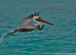 Pelican 2015 -4copyright-photographers-on-safari-com