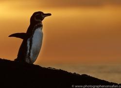 Penguin 2015 -7copyright-photographers-on-safari-com