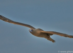 Red Footed Booby 2015 -2copyright-photographers-on-safari-com