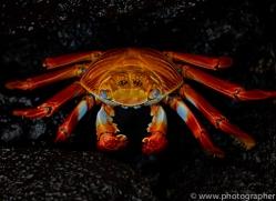 Sally Lightfoot Crab 2015 -1copyright-photographers-on-safari-com