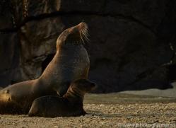 Sealion 2015 -1copyright-photographers-on-safari-com