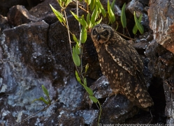 Short Eared Owl 2015 -1copyright-photographers-on-safari-com