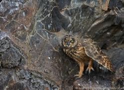 Short Eared Owl 2015 -3copyright-photographers-on-safari-com