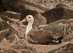 albatross-1829-galapagos-copyright-photographers-on-safari-com