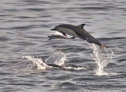 dolphin-1819-galapagos-copyright-photographers-on-safari-com