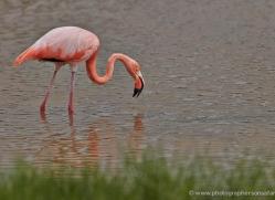 flamingo-1850-galapagos-copyright-photographers-on-safari-com
