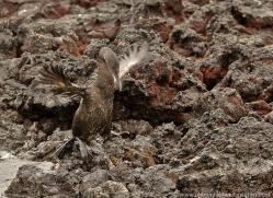 flightless-cormorant-1824-galapagos-copyright-photographers-on-safari-com