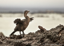flightless-cormorant-1825-galapagos-copyright-photographers-on-safari-com